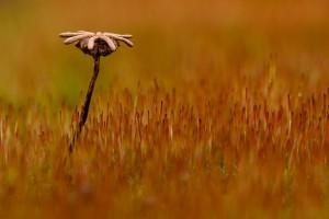 Een oud sporenkapsels tussen ander mos, purpersteeltje. - Fotograaf: Ron Poot