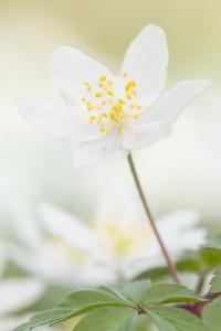 Door het gebruik van een diffusiescherm wordt het contrast tussen de witte bloem en de donkere achtergrond verminderd  - Fotograaf: Antonie Blom