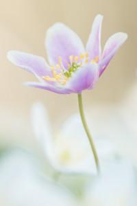 Een van de roze bloemen tussen de witte bloemen  - Fotograaf: Antonie Blom