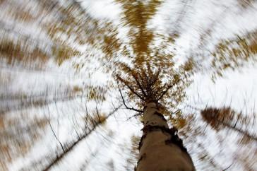 berk; betula; birch