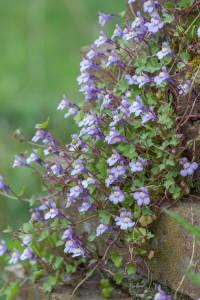 In de zomer bloeit Muurleeuwenbek massaal - Fotograaf: Antonie Blom