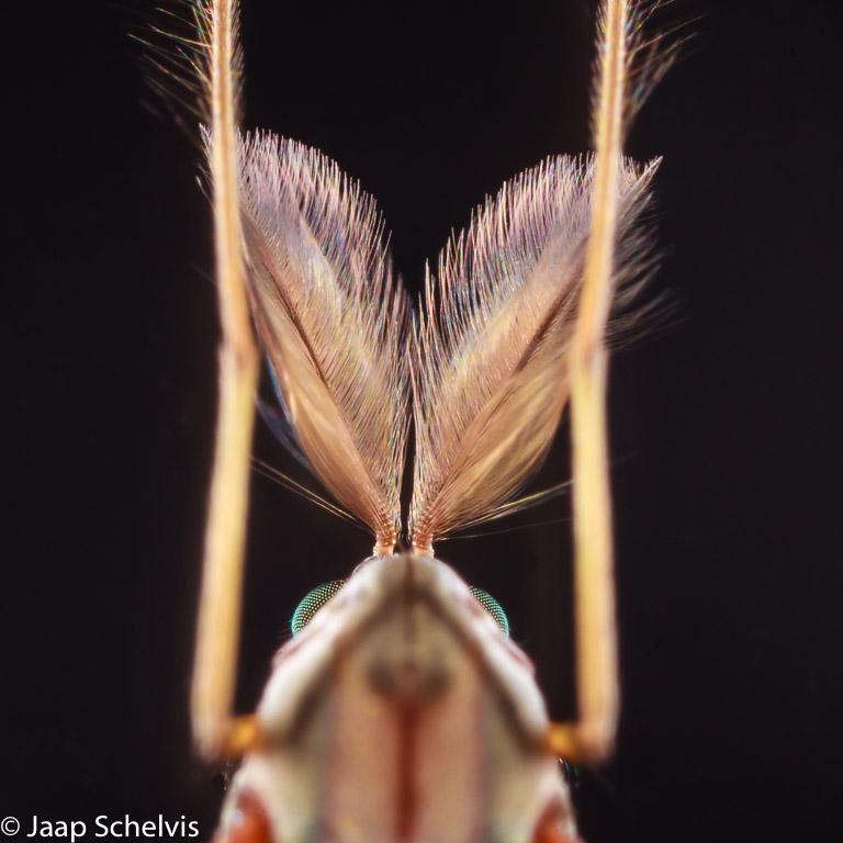 De 'enorme' antennes van een heel klein dansmugje.