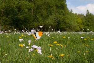 Zo kom je oranjetipjes tegen in het vroege voorjaar. - Fotograaf: Arjan Troost
