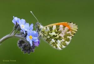 Oranjetipje, het mannetje met de karakteristieke oranje vleugelpunten. - Fotograaf: Arjan Troost