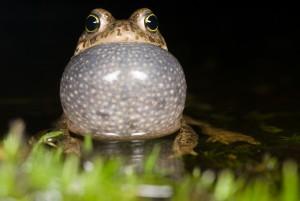 Rugstreeppadden hebben een enorme kwaakblaas.  - Fotograaf: Paul van Hoof