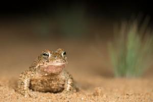 Rugstreeppadden leven vaak in zandige omgeving. Dit mannetje is op weg naar het voortplantingswater.  - Fotograaf: Paul van Hoof
