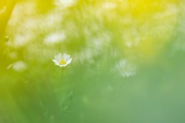 Stellaria holostea; Grote muur; Greater stitchwort