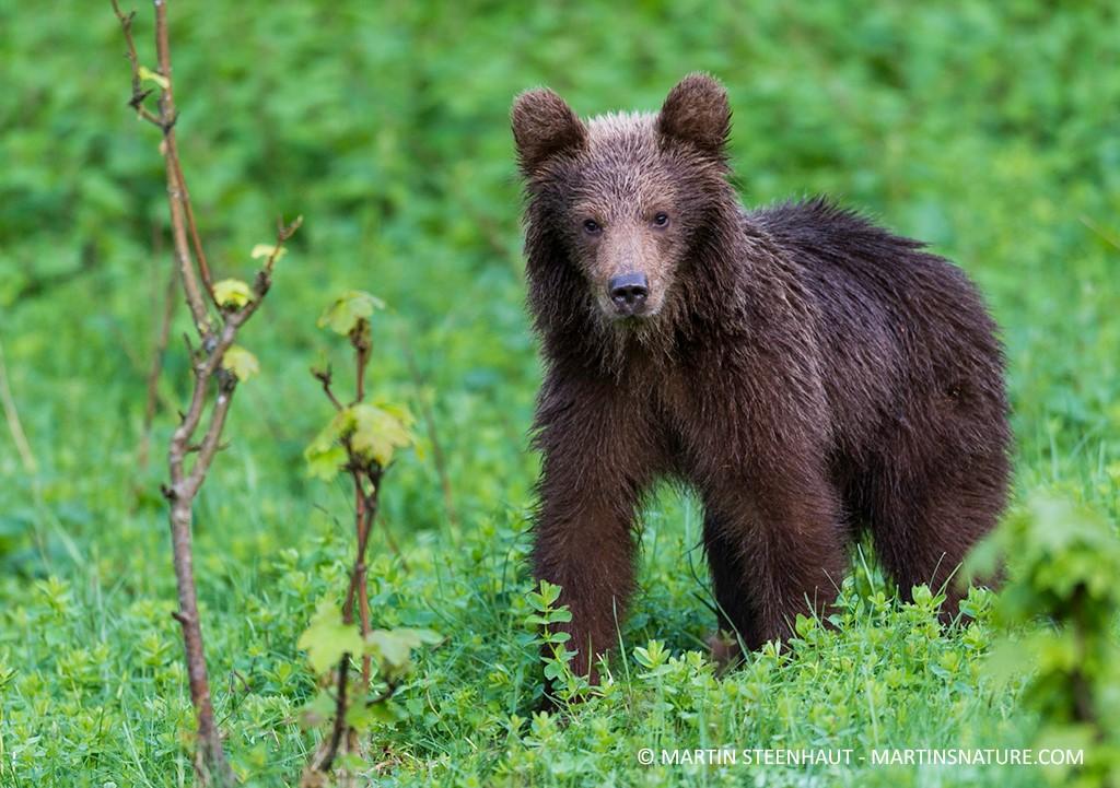 jonge beer