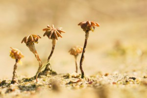 Drie rijpe parapluutjes in het open zand.  - Fotograaf: Ron Poot