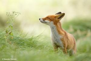 Vos (Vulpes vulpes) - Fotograaf: Roeselien Raimond