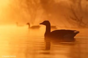 Ganzen in de mist op het water met zonsopkomst