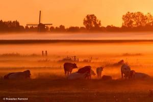 Koeien in een weiland, een molen en grondmist; typisch Hollandse sfeer