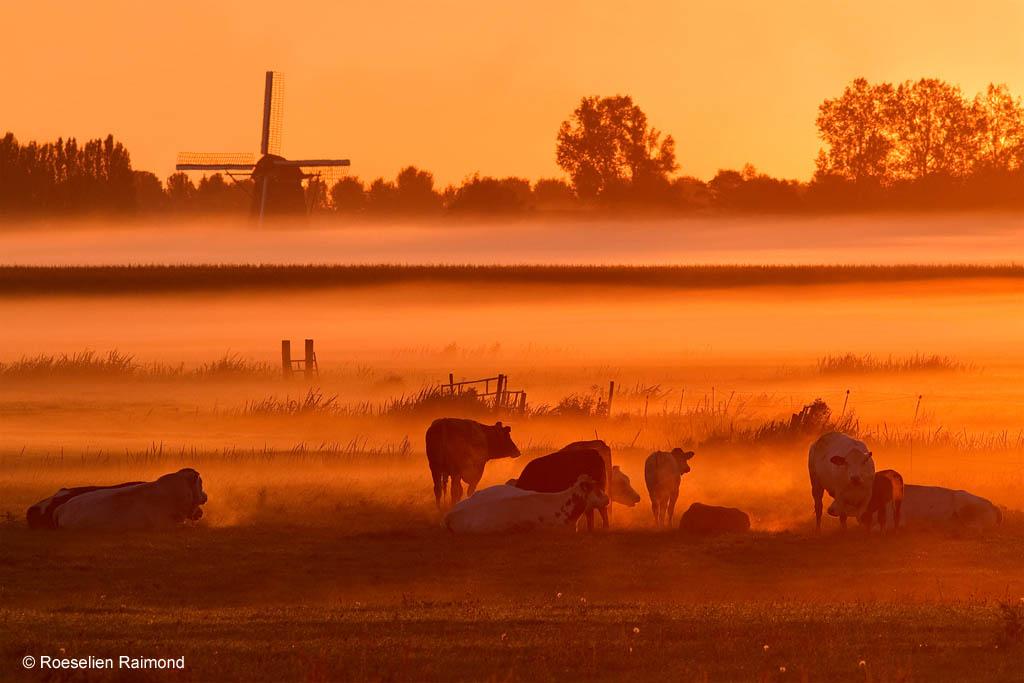 koeien grondmist molen weiland Nederland holland sfeer
