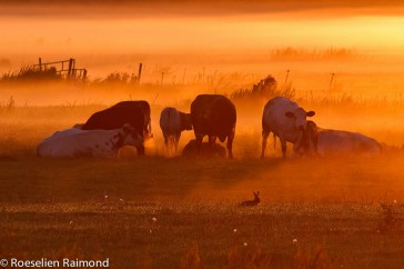 A small herd of grazing cows (bos taurus) on a foggy morning in a typical Dutch landscape