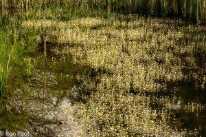 Massale bloei van Fijne waterranonkel in april. - Fotograaf: Ron Poot