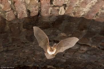 Gewone grootoorvleermuis vliegt door kelder