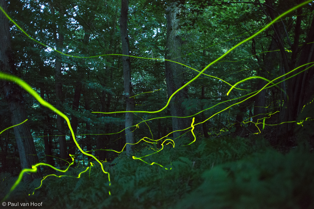 View of lighting trails of fireflies flying in a forest at twilight on a summer evening.