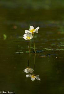 Idylle in het water. - Fotograaf: Ron Poot