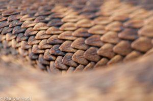 Adder detail van de gekeilde schubben. - Fotograaf: Paul van Hoof