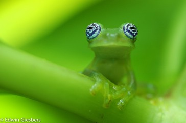 Ghost Glass Frog, Centrolenella ilex, Costa Rica