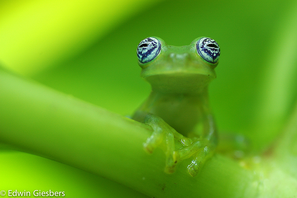 Ghost Glass Frog, Centrolenella ilex, Costa Rica
