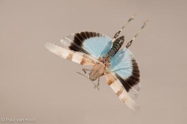 Blauwvleugelsprinkhaan; Blue-winged grasshopper, Oedipoda caerul