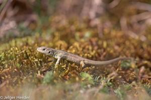 Foto van een juveniele zandhagedis op mos. - Fotograaf: Jelger Herder