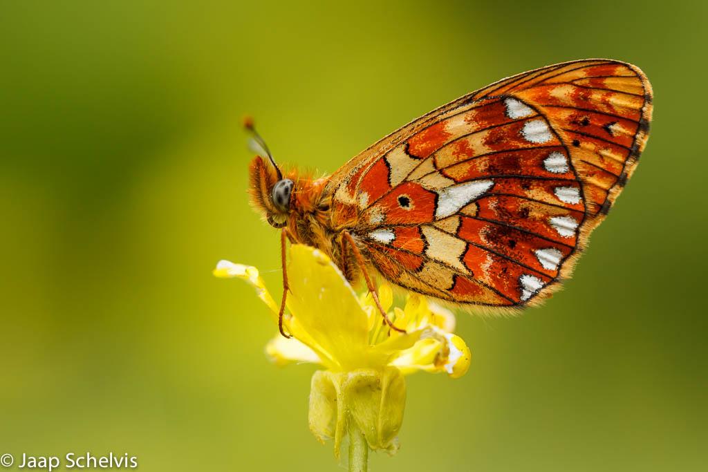 Hoe fotografeer je vlinders?