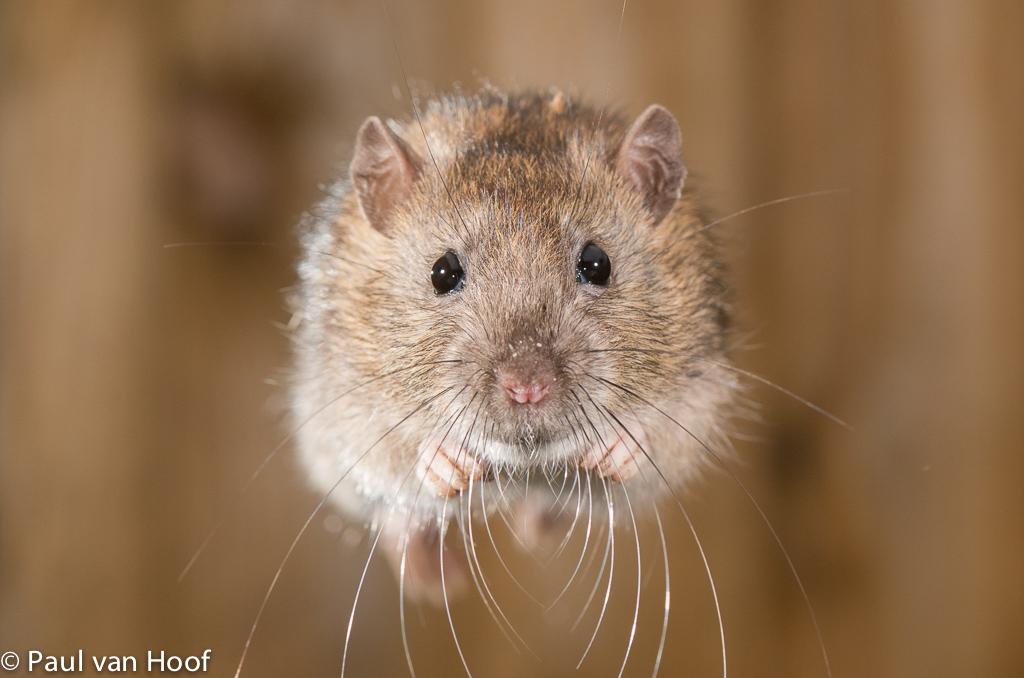 Springende rat