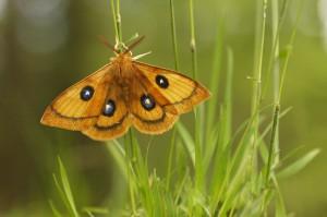 Tauvlinder. De oranje mannetjes vliegen opvallend rond in de beukenbossen. - Fotograaf: Els Branderhorst