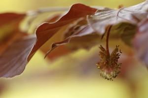 Macro van een mannelijke bloem van een Rode beuk - Fotograaf: Els Branderhorst