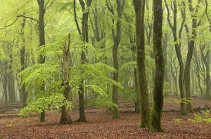 De beuken krijgen hun eerste frisse heldergroene loof... het heerlijkste groen dat je je kan voorstellen. - Fotograaf: Els Branderhorst