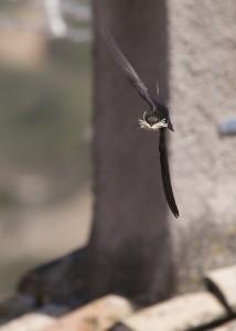 In de lucht dwarrelend nestmateriaal wordt vliegend verzameld.  - Fotograaf: Tjeerd Visser