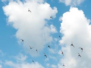 Typisch zomers plaatje van een mooie wolkenlucht met gierende vogels. Zo'n foto is vrij eenvoudig te maken. De focus mag op automatisch en de belichting iets in de plus.  - Fotograaf: Arno ten Hoeve