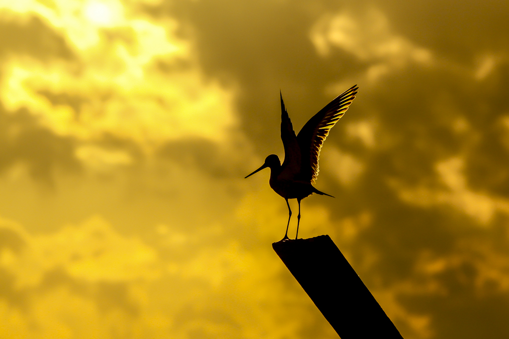 Nederlandse weidevogels