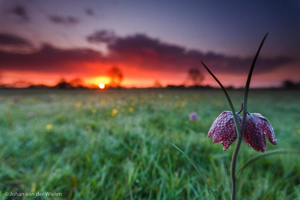 kievitsbloem groothoek zonsopkomst