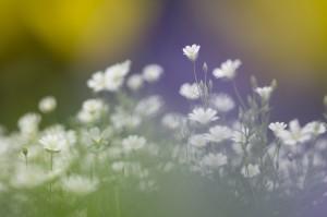 Grote muur, door andere voorjaarsbloemen heen gefotografeerd.  - Fotograaf: Ron Poot