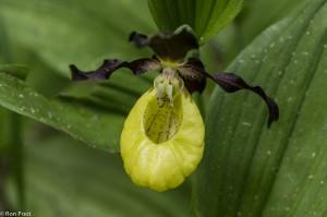 Detail opname van het 'schoentje', de onderlip van de orchidee. - Fotograaf: Ron Poot