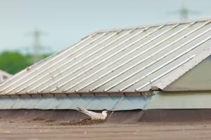En nog een nest op een dak van een grote industriehal in het binnenland. Op deze manier vergroten de visdieven hun kans op succesvolle broedsels.  - Fotograaf: Arno ten Hoeve