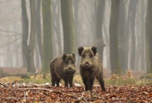 Wilde zwijnen wroetend en rondscharrelend in een oud beukenbos. - Fotograaf: Els Branderhorst