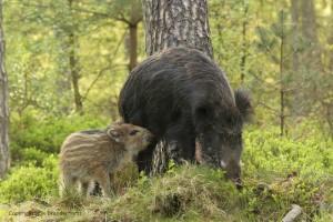 Jong wild zwijn probeert nog bij moeder te drinken, in natuurlijke omgeving, gemengd uitgedund bos met bosbessen. - Fotograaf: Els Branderhorst