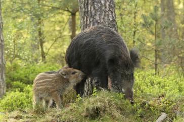Wild zwijn; Wild Boar; Sus scrofa