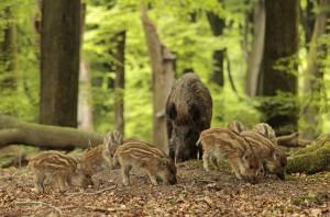 Zeug met een groep jonge biggen in het voorjaarsbos. - Fotograaf: Els Branderhorst