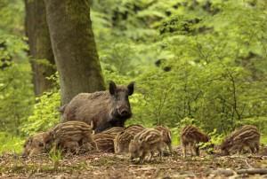 Wild zwijn zeug met een groep jonge biggen scharrelen op de bosbodem aan de bosrand van een fris lentegroen beukenbos. - Fotograaf: Els Branderhorst