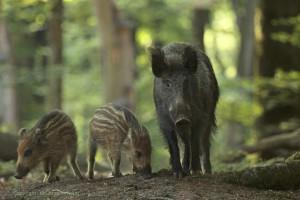 Wild zwijn, zeug met een jonge biggen scharrelen in de avonduren op de bosbodem van een zomers beukenbos. - Fotograaf: Els Branderhorst