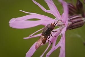 Een snuitvlieg bezoekt de bloem.  - Fotograaf: Ron Poot