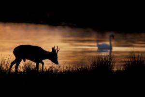 De zon die reflecteert op het water zorgt voor een scherp silhouet van de ree. Dat geeft een mysterieus sfeertje. De knobbelzwaan rechtsboven in de foto maakt het plaatje helemaal compleet. Zo heeft Tjeerd Visser een vernieuwende foto kunnen maken van een reebok in buitengewoon mooie omstandigheden.  - Fotograaf: Tjeerd Visser
