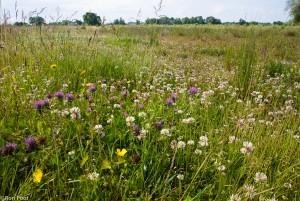 De natuurlijke omgeving van klaver: rode en witte klaver in een grasland.  - Fotograaf: Ron Poot