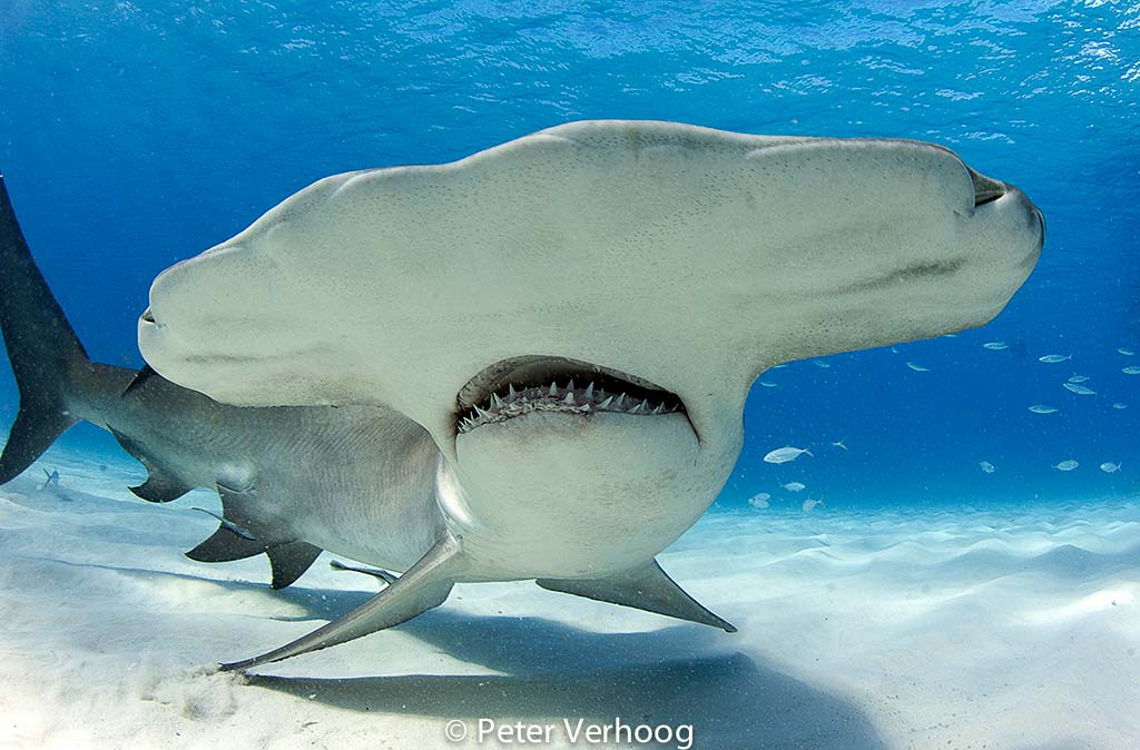 De haaien gaan naar de haaien