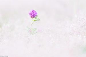 Minimalistische fotografie: rode klaver tussen de ragfijne bloemen van zilverhaver. - Fotograaf: Ron Poot
